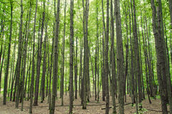 Forest. A forest of trees direct Royalty Free Stock Photo