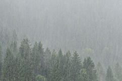 Forest with trees in fierce rain shower Stock Photos