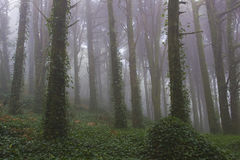 Forest trees with fog Royalty Free Stock Photography