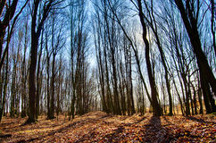 Forest trees. Forest forester forestry trees tree Royalty Free Stock Photo
