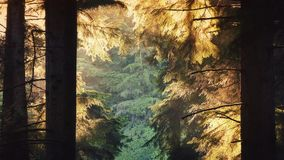 Forest Trees Glow In Evening Sunlight stock video