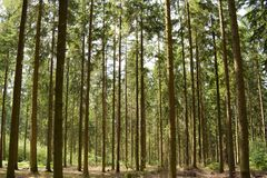 Forest trees grass path tree trunks of pine trees royalty free stock image