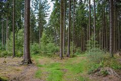 Forest trees grass path tree trunks of pine trees royalty free stock images