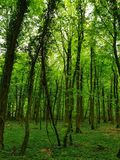 In the forest trees green glow shine. Forest trees green glow shine royalty free stock photography