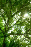 Forest trees, green leaves and sunlight. Background Stock Image