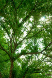 Forest trees, green leaves and sunlight background. Forest trees, green leaves and sunlight Royalty Free Stock Photo