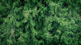 Forest Trees In Heavy Rain. Large forest trees in a rainstorm stock footage