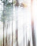Forest Trees i tät dimma med solljus Arkivbild