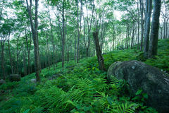 Forest trees landscape. Rubber tree plantation stock photo