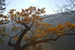 Forest Trees Late Fall Autumn, avec d'or sèchent des feuilles Photographie stock libre de droits