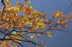 Forest Trees Late Fall Autumn, avec d'or sèchent des feuilles Photo libre de droits