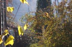 Forest Trees Late Fall Autumn, avec d'or sèchent des feuilles Image libre de droits