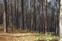 Forest Trees Late Fall Autumn, with Golden Dry Leaves Stock Photos