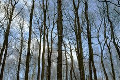 Forest trees without leaves Stock Photo