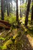 Forest trees and moss Royalty Free Stock Photo