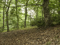 Forest with trees Royalty Free Stock Images