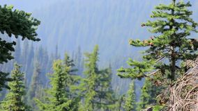 Pine needles and trees on the side of the olympic mountain range in Washington. Forest trees and mountian side in olympic mountains of Washington state in summer stock video