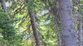 Tree trunks and forest along the mountain side in washington state in summer. Forest trees and mountian side in olympic mountains of washington state in summer stock footage