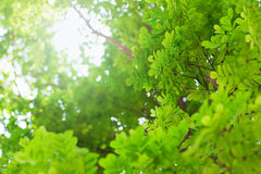 Forest trees, nature green leaf sunlight background Royalty Free Stock Photo