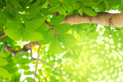 Forest trees, nature green leaf sunlight background Royalty Free Stock Images