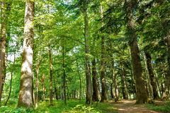 Forest trees. nature green wood backgrounds Sunny Day Royalty Free Stock Photography