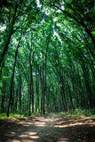 Forest trees Royalty Free Stock Images