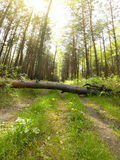 Forest trees. Royalty Free Stock Photos