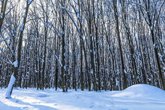 Forest trees nature. Snow wood backgrounds Stock Photo