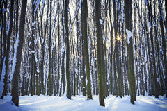 Forest trees. Nature snow wood backgrounds Stock Photography