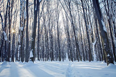 Forest. Trees nature snow wood backgrounds Royalty Free Stock Photos
