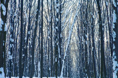 Forest. Trees nature snow wood backgrounds Royalty Free Stock Photo