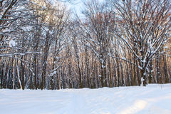 Forest. Trees nature snow wood backgrounds Stock Photography