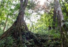 Forest Trees nella stagione estiva, nella vista di prospettiva di grandi alberi con le radici e nella luce solare nella giungla p Immagini Stock
