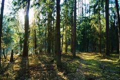 View in the forest during the day. Forest and trees. Photo taken on a sunny day. The sun shines among the trees Stock Photos