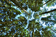 Forest trees Royalty Free Stock Photography
