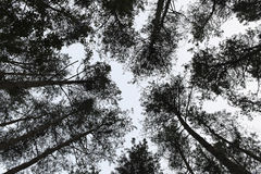 Forest trees pine tree needles background high Stock Image