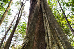 Forest Trees Roots tropical Photos stock