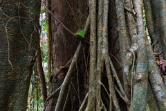 Forest Trees Roots tropical Images stock