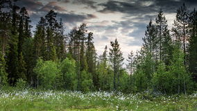 Forest with trees in Scandinavia stock video