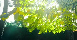 Forest trees silhouette and green spring summer leaves at. Daylight sky with sun flare rays flying through forest on nature background, concept of nature stock video footage