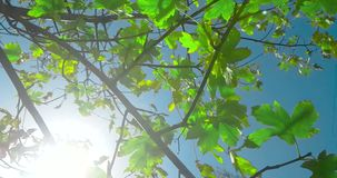 Forest trees silhouette and green spring summer leaves at daylight sky with sun flare rays flying through forest on nature. Background, concept of nature stock video footage
