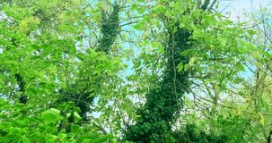Forest trees silhouette and green spring summer leaves at. Daylight sky with sun flare rays flying through forest on nature background, concept of nature stock footage
