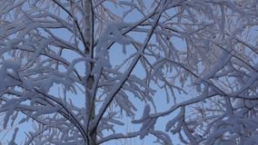 Forest trees in snow. Forest trees covered with white snow in winter stock video footage