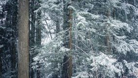 Forest Trees In Snowstorm stock video footage