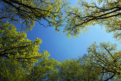 Forest trees in spring light and blue sky Stock Photos