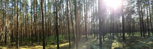 Forest. Trees sun Bryansk summer stock photography