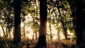 Forest trees at sunset. stock video footage
