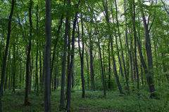 Forest trees. Tall trees in a forest in Romania Royalty Free Stock Photo
