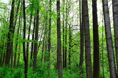Lush Spring Forest Trees Stock Image