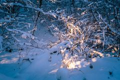 Forest trees under snow. Winter forest bushes under the snow in evening sunlight Stock Photography